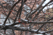 tree with berries in the snow